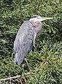 Heron San Francisco 2 (15580258316).jpg