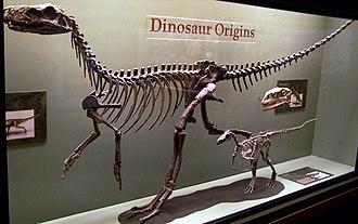 Saurischia - Herrerasaurus (large), Eoraptor (small), and Plateosaurus (skull), three early saurischians