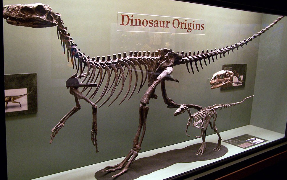 Full skeleton of an early carnivorous dinosaur, displayed in a glass case in a museum