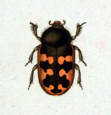 Heterocerus marginatus
