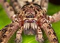 Heteropoda sp. (14328993090).jpg