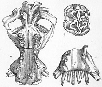 Hexaprotodon - Hexaprotodon sivalensis skull elements