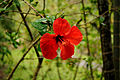 Hibiscus @ Waimea Valley (5216500577).jpg