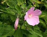 Hibiscus moscheutos ssp palustris 02