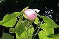 Hibiscus mutabilis 6zz.jpg