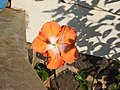 Hibiscus rosa sinensis hybrid-37-hanuman temple-muluvi-yercaud-salem-India.jpg