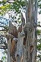 Hide and seek - Hawk-owl - Sperweruil (14126272729).jpg