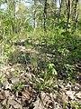 Hierochloe australis sl53.jpg