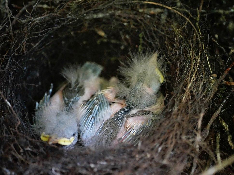 Hihi chicks in nest