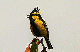 Himalayan black-lored tit by Krishna (4).jpg