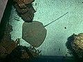 Himantura australis National Aquarium.jpg