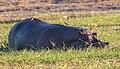 Hipopótamo (Hippopotamus amphibius), parque nacional de Chobe, Botsuana, 2018-07-28, DD 84.jpg