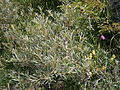 Hippophae rhamnoides02.jpg