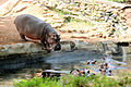 Hippopotamus in Thiruvananthapuram Zoo