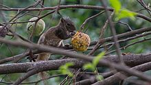Hoary-bellied Himalayan Squirrel WLB IMG 0020.jpg