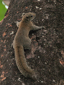 Hoary-bellied Squirrel at Jayanti, Duars, West Bengal W Picture 451.jpg