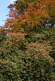 Holly and Beech - geograph.org.uk - 587736.jpg