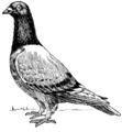 Homing Pigeon (PSF).png
