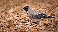 Hooded crow (47384202621).jpg