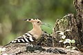 Hoopoe in the forest (36955496376).jpg