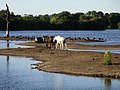 Horses and Geese - geograph.org.uk - 202664.jpg