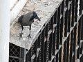 House Crow Corvus splendens by Raju Kasambe DSCN0468 (7) 46.jpg