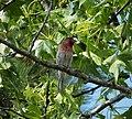 House Finch Carpodacus mexicanus male (24646112528).jpg