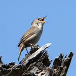 House wren in full song cropped.png