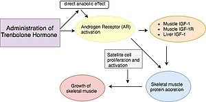 Trenbolone acetate - Image: How the administration of the trenbolone hormone causes muscle growth