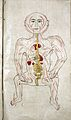 Human figure showing arteries and viscera, Persian, 18th C Wellcome L0011468.jpg