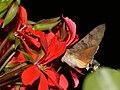 Hummingbird Hawk-moth - Taubenschwänzchen (7563821110).jpg