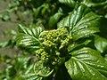 Hydrangea anomala subsp. petiolaris 2019-04-16 0136.jpg