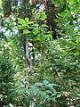 Hydrangea paniculata2.jpg
