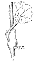 Hydrocotyle americana Notes-06.png