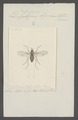 Hydrophorus - Print - Iconographia Zoologica - Special Collections University of Amsterdam - UBAINV0274 038 13 0006.tif