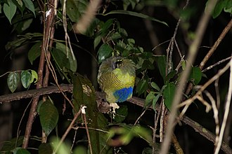Bar-bellied pitta - Image: Hydrornis elliotii 1