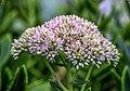 Hylotelephium spectabile FS4g LR.jpg