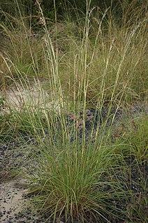 <i>Hyparrhenia rufa</i> species of plant