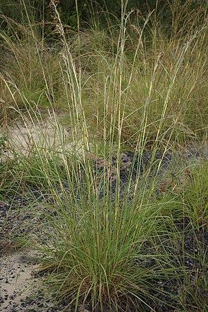 Hyparrhenia rufa - Image: Hyparrhenia rufa stem pattern