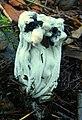 Hypomyces cervinigenus 301129.jpg