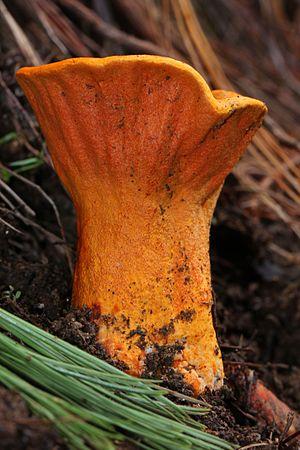 Russula - Lobster mushroom