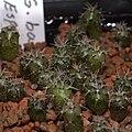 IMG 0402-Gymnocalycium baldianum.jpg