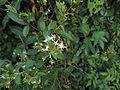 Ichnocarpus frutescens12.JPG