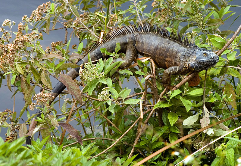 http://upload.wikimedia.org/wikipedia/commons/thumb/c/c3/Iguana_iguana_dark_branches.jpg/800px-Iguana_iguana_dark_branches.jpg