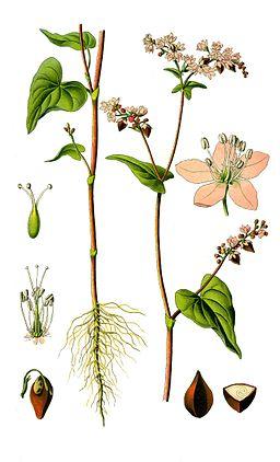 Illustration Fagopyrum esculentum0 clean