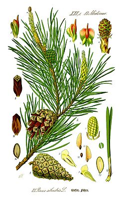 Waldkiefer (Pinus sylvestris), Illustration