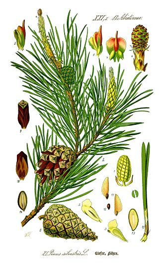 Pine - Illustration of needles, cones, and seeds of Scots pine (Pinus sylvestris)