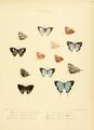 IllustrationsDiurnalLepidoptera2Plate34.png