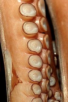 Pieuvre à bras et ventouses dans PIEUVRE 220px-Img_octopus_arm_and_suckers_057513