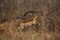 Impala running (6218157016).jpg